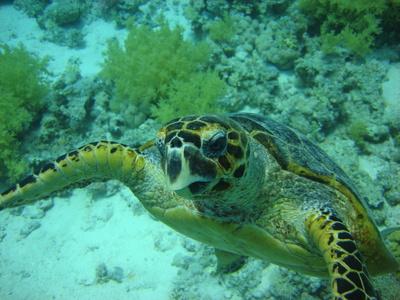Golfcourse and Farm Fertilizers kill Hawaiian Sea Turtles